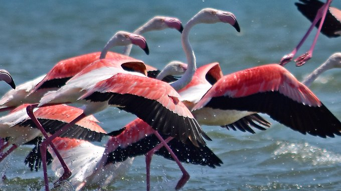 Du bist, was du isst - das gilt auch für Flamingos.