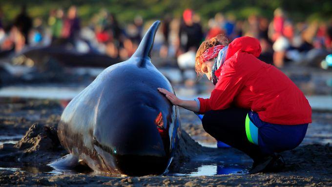 Mehr als 500 freiwillige Helfer beteiligten sich bei der Rettung der Wale.