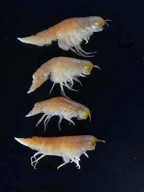 Ultra-Tiefwasser-Amphipoden Hirondellea Gigas aus den tiefsten Tiefen des Marianengrabens im Nordwestpazifik. Diese Art bewohnt Tiefen von 6000 bis fast 11.000 Meter.