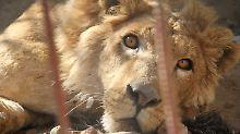 Löwe und Bär mitten im Krieg: Tierarzt kämpft um Mossuls letzte Zootiere