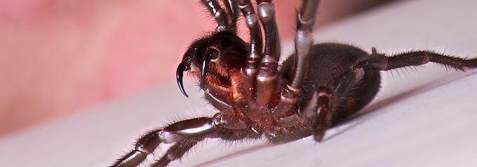 So sieht eine Trichternetzspinne aus, die in Australien einen Zehnjährigen angegriffen hat.