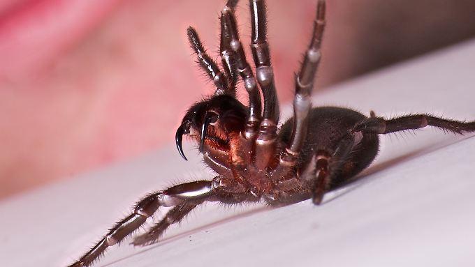 So sieht eine Trichternetzspinne aus - in Australien griff ein Exemplar nun einen Zehnjährigen an.