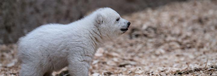 Am Ende läuft es vielleicht auf das pragmatische Quintana hinaus, denn das Bärenbaby ist das fünfte Familienmitglied bei Yoghi und Giovanna.