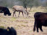 Artgenossen sind ihm egal: Rothirsch lebt unter Rindern