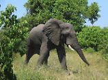 Die Forscher betrachteten die Elefantendame als schlafend, wenn sich ihr Rüssel mehr als fünf Minuten lang nicht bewegte.