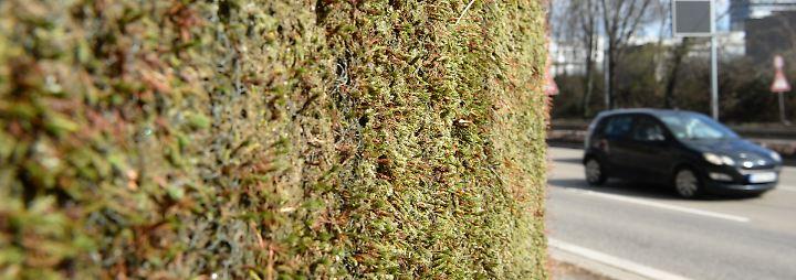 Die feinen Blätter der Moose sind so aufgebaut, dass sie, würde man sie auseinanderfalten, eine wesentlich größere Oberfläche ergeben.