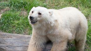 Schock im Osnabrücker Zoo: Ausgebrochene Bärin Tips muss erschossen werden