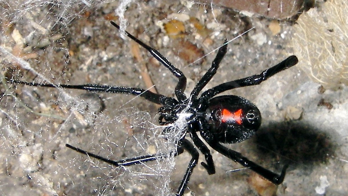 Giftigsten Spinnen Der Welt
