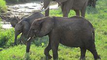Leben auf großem Fuß - und das Ökosystem profitiert: Elefanten.