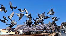 Vogelkot versaut Balkon: Wenn Tauben zum Mietmangel werden