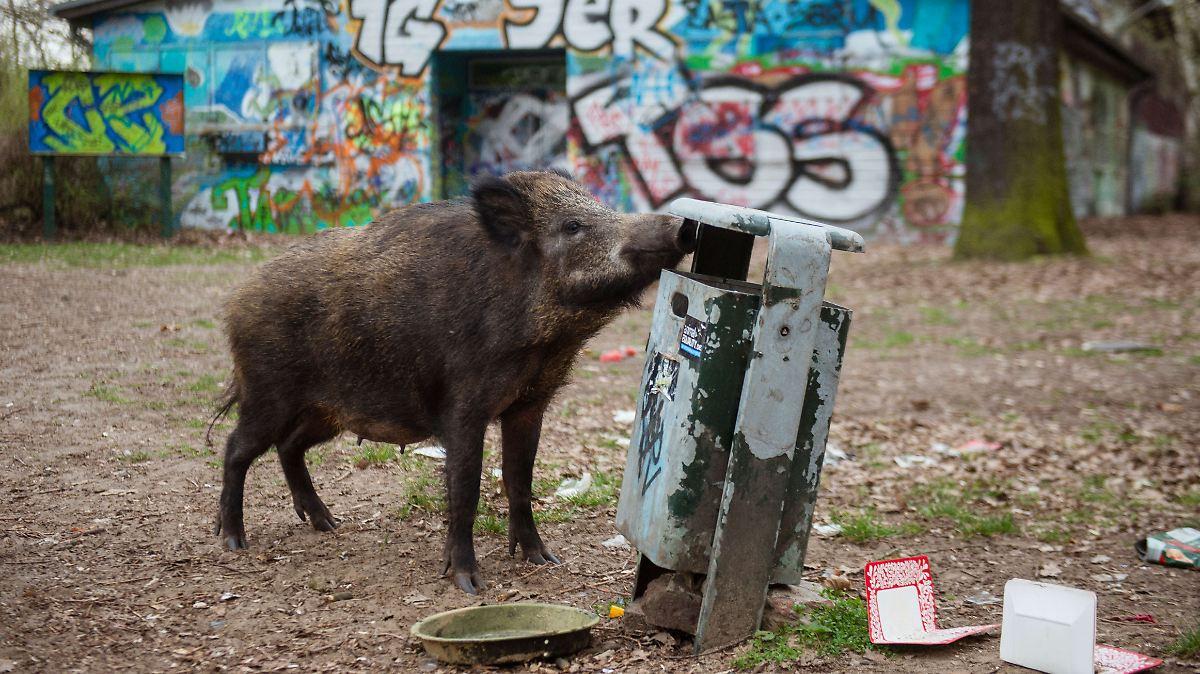 nat rliche nahrung bevorzugt wildschweine pl ndern nur selten m ll n. Black Bedroom Furniture Sets. Home Design Ideas