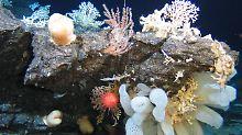 Seeberge sind echte Giganten: Forscher werden zu Hochseetauchern