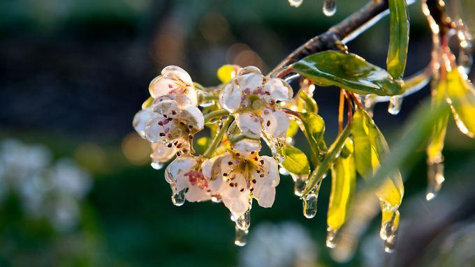 Mit einer Eisschicht versuchen Obstbauern, die Blüten ihrer Bäume vor dem Frost zu schützen.