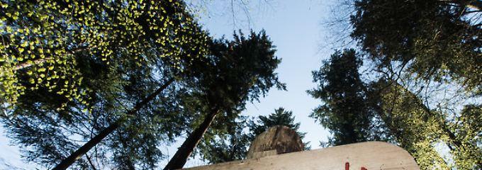 """Douglasie mit Aha-Effekt: """"Waldtraut"""" ist der Star unter den Bäumen"""