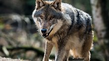 Bedrohlich oder bereichernd?: Diskussion über Wölfe erhitzt sich