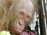 Im Urwald von Borneo: Seltener Albino-Orang-Utan gerettet