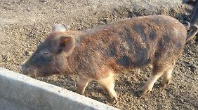 Hier kann man Schwein sein! Nur bei Sauwetter wollen die Ferkelchen in den Stall.
