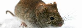 Überall wo Mäuse sind: Hantavirus breitet sich aus