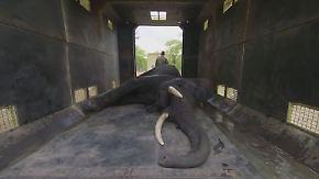 Kraftakt in Malawi: 500 Elefanten werden fürs eigene Überleben umgesiedelt