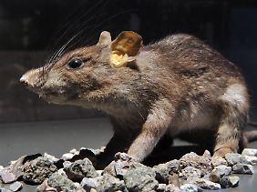 Die Ratte galt als Überträger der gefürchteten Pest (Tierpräparat).
