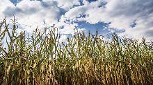 Anleger decken sich ein: Hitzwelle treibt Preise für Mais an