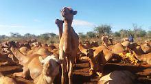 Kamele sind auch bei Dürre genügsam - und geben dennoch Milch. Das macht sie für Ostafrikaner attraktiv.
