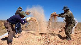 In Bolivien wird Quinoa noch ohne Pestizide angebaut.