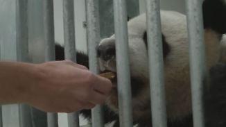 """Große Freude im Zoo: Pandas mampfen ihren ersten Berliner """"Muffin"""""""