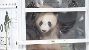 Träumchen und Schätzchen: Junge Pandabären erobern die Hauptstadt
