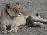 Tierische Adoption: Wilde Löwin säugt Leopardenbaby