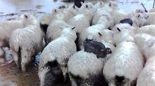 Überleben bei Hochwasser: Kaninchen lassen sich von Schafen retten