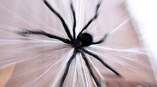 """Nichts für Arachnophobiker: """"Die Brut"""" ist geschlüpft"""