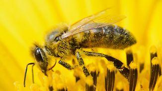 """Monokultur, Pestizide, Krankheit: Deutsche Umwelthilfe: """"Der Biene geht es schlecht"""""""