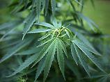 Zwischen Euphorie und Vorsicht: Medizin-Cannabis auf dem Vormarsch
