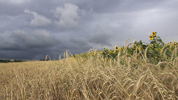 Graue Wolken über dem Kornfeld - ein gewohntes Bild in diesem Sommer.