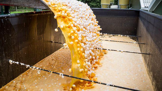 In den Niederlanden werden mutmaßlich betroffene Eier vernichtet.