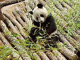 Von der Mutter verstoßen: Ein Panda-Zwilling stirbt in Frankreich
