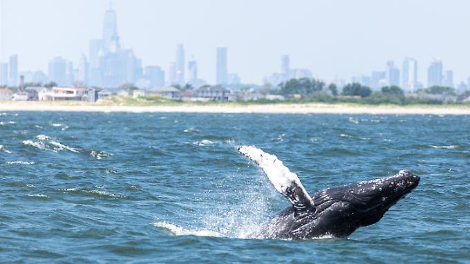 Buckelwale interagieren häufiger mit Menschen, wie Experten beobachtet haben.