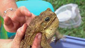 Gefährliche Plage in Florida: Giftige Riesenkröten töten Haustiere