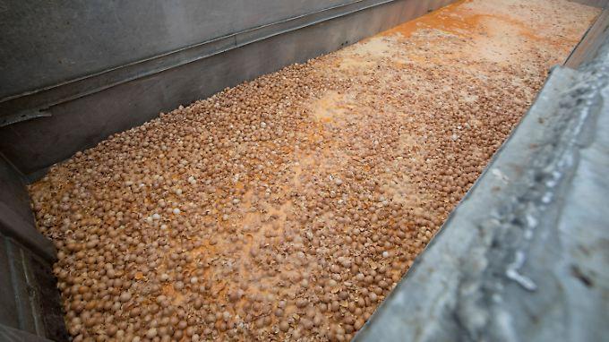 Auf einer belgischen Hühnerfarm werde Tausende mit Fipronil belastete Eier vernichtet.