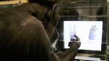 """Schimpanse Chloe beim """"Schere, Stein, Papier""""-Spiel mit dem Computer."""