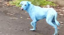 In den Slums von Mumbai: Hunde werden blau wie Schlümpfe