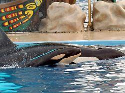 Nach 39 Jahren in Gefangenschaft: Seaworld schläfert Orca ein