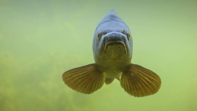 """Ostsee-Fischer nennen Fische mit großem Maul gerne mal """"Berliner"""". Das hier ist ein ganz und gar friedlicher Karpfen."""