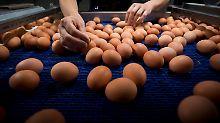 Eier werden auf dem Förderband einer Hühnerfarm in Merksplas (Belgien) transportiert.