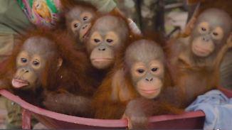 Lebensraum wird immer knapper: Orang-Utan-Bier soll Regenwald retten