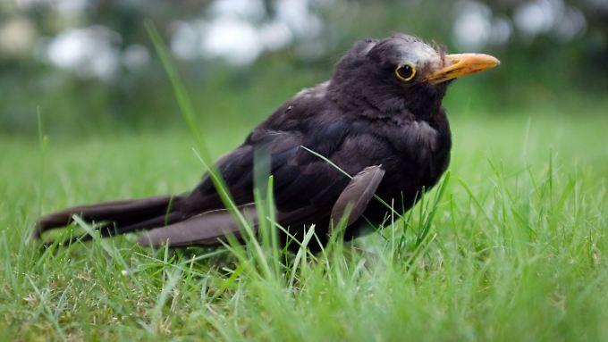 Kranke Tiere wirken zutraulich, sie fliegen nicht weg, torkeln ein wenig und sterben dann.