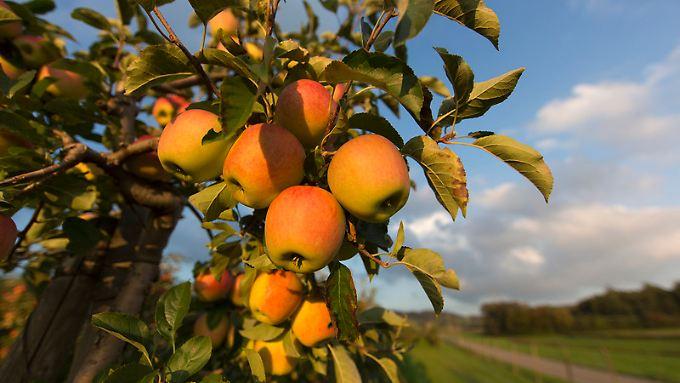 Auf rund 8000 Hektar wird rund um dem Bodensee Obst angebaut - eines der wichtigsten Produkte sind Äpfel.