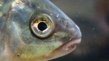 Fisch mit Imageproblem: Landet Karpfen noch auf deutschen Tellern?