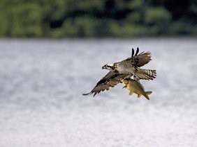 Fischadler lieben die dicken Karpfen, auch in Brandenburg.